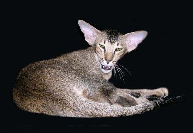 Кот говорит: мяуязык