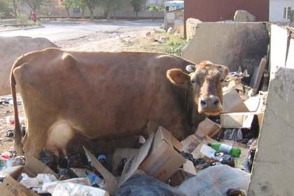 В Махачкале при отлове бездомных животных поймали восемь коров