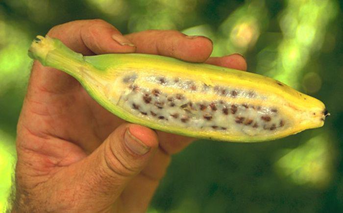 Дикий банан
