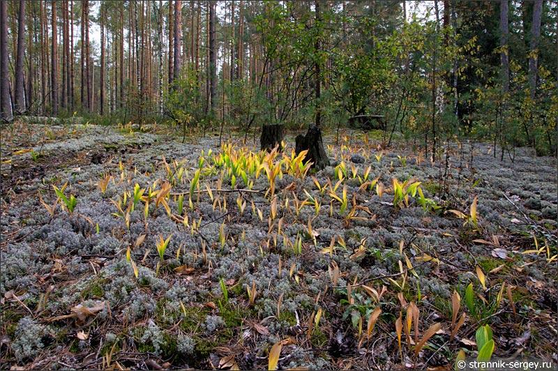 Грибной лес в подмосковье