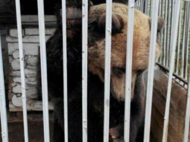 Зоозащитники собрали 50 тысяч рублей, чтобы выкупить медведицу из кафе