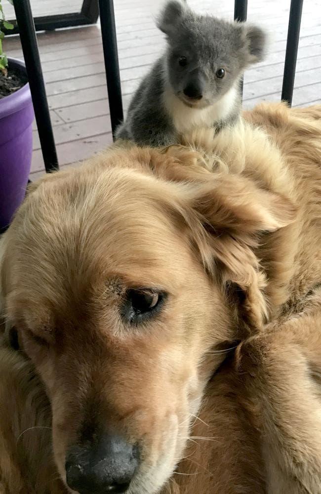 Золотистый ретривер становится приемной мамой для крошки коалы