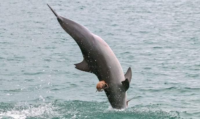 Австралийский осьминог прокатился на дельфине