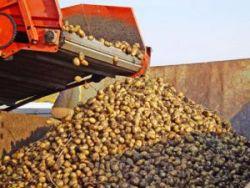 Белоруссия готова накормить Россию картофелем