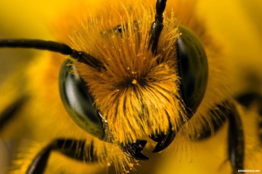 Любопытное о пчелах пчела, факты, интересное