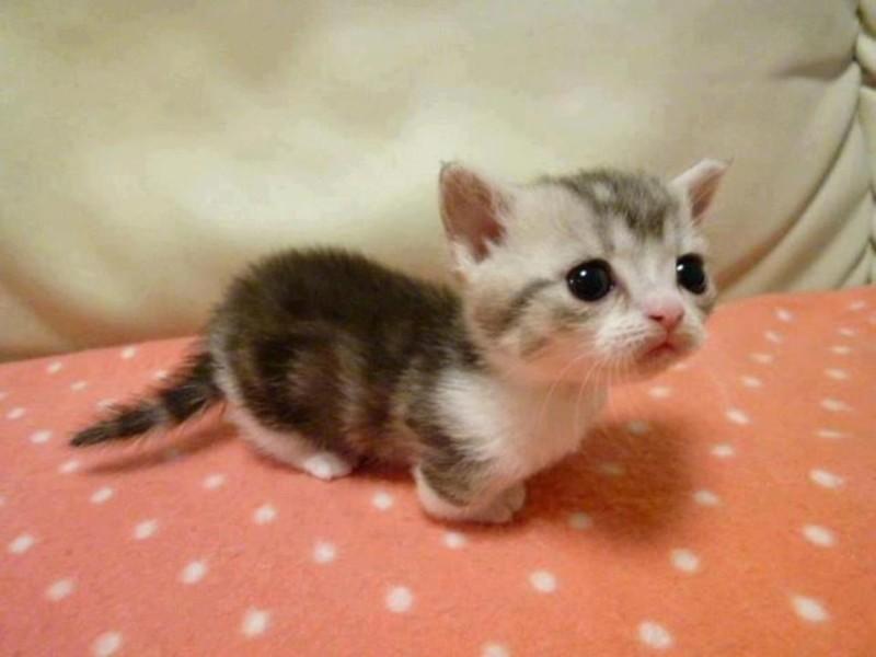 1. Перед вам котенок породы манчкин   животные, кошка, манчкин