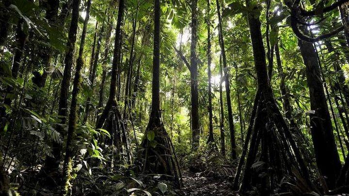 Ходячие деревья, которые способны преодолевать расстояние до 20 метров в год…