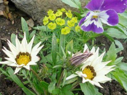 цветы гацания, выращивание из семян, посадка и уход