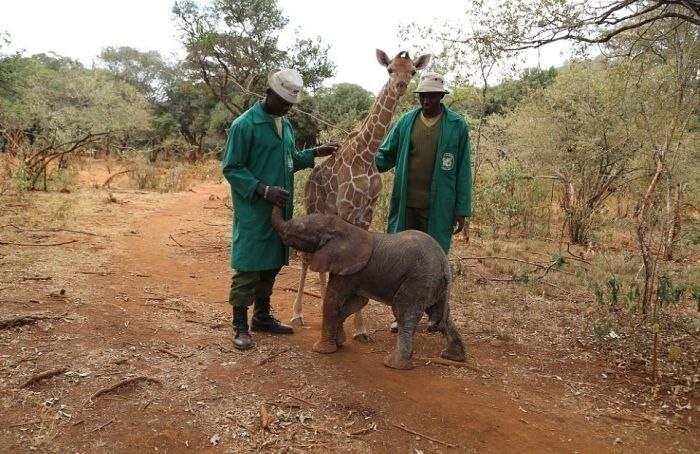 Крепкая дружба осиротевших слоненка и жирафа Жираф и слоненок, животные, факты