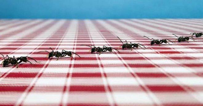 Муравьи в квартире - самое эффективное средство от домашних муравьев в квартире
