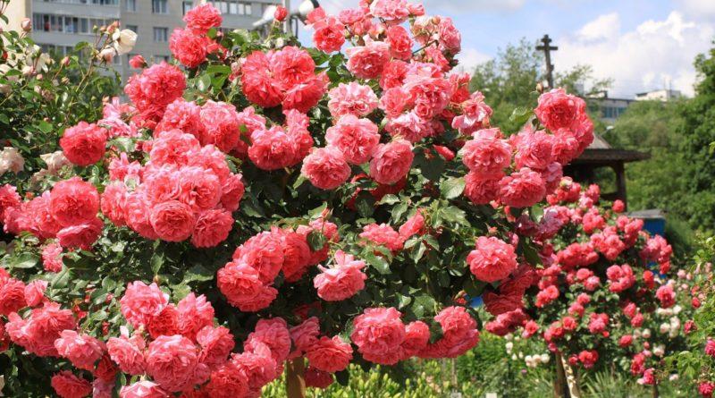 Как правильно обрезать розы на зиму и когда лучше это делать?