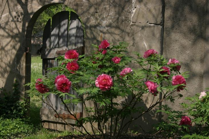 Древовидные пионы в саду