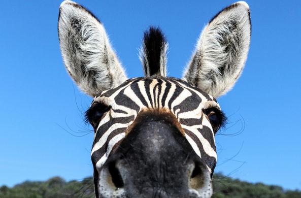 Ученые назвали еще одну причину полосатой окраски зебр