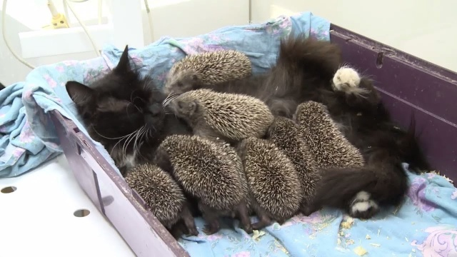 Кошка Муся усыновила 8 сирот-ежиков, и стала для них любящей мамочкой. Только посмотрите на эту чудо-семейку!
