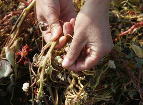Как получить собственные семена