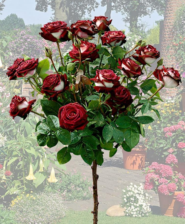 Роза Осирия
