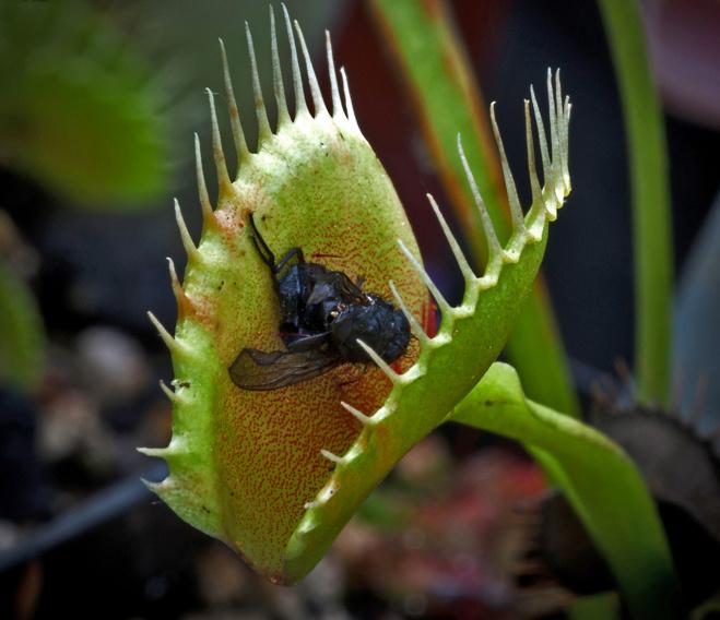Хищные растения для Вашего дома