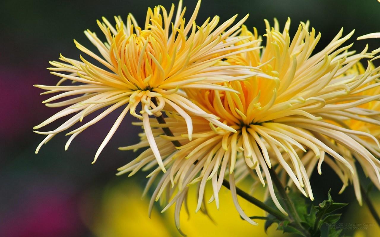 цветы обои для рабочего стола бесплатно картинка 1280 x 800,…