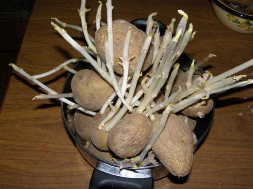 Р. Ахмедов: белые картофельные ростки лечат рак, ревматизм, подагру и повышают остроту зрения