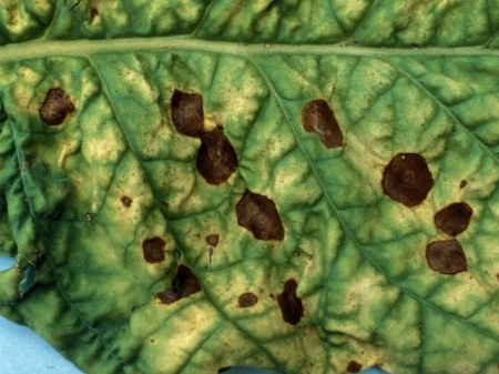 Кладоспориоз-бурая оливковая пятнистость