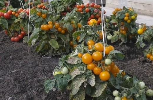 Штамбовые томаты - томаты для ленивых