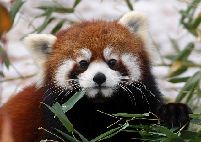 Бамбуковая диета сблизила панд на генетическом уровне