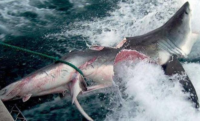 Огромное нечто перекусило белую акулу пополам и испугало рыбаков
