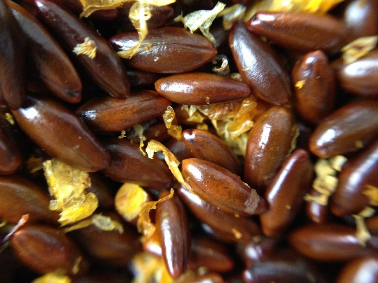 Семена облепихи