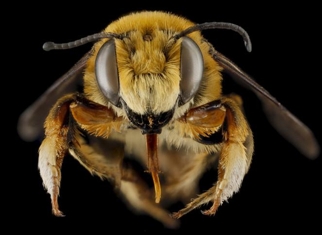 Без пчел человечество проживет 4 года