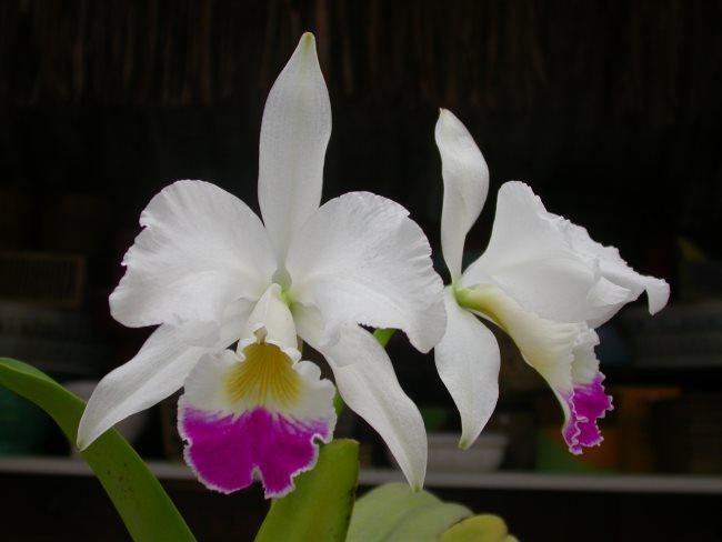 Каттлея - все о комнатных орхидеях