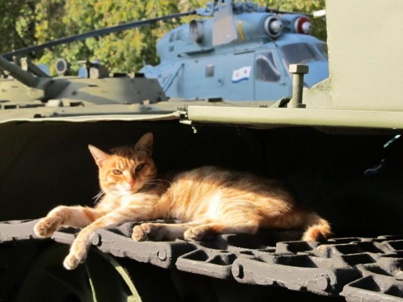 Сиеста бронетехника, животные, коты