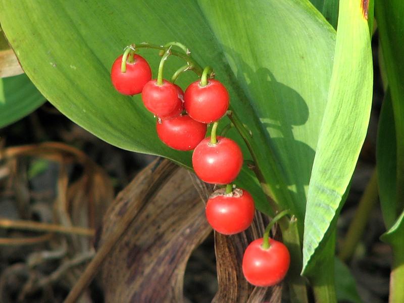 Ядовитые ягоды и растения: Ландыш