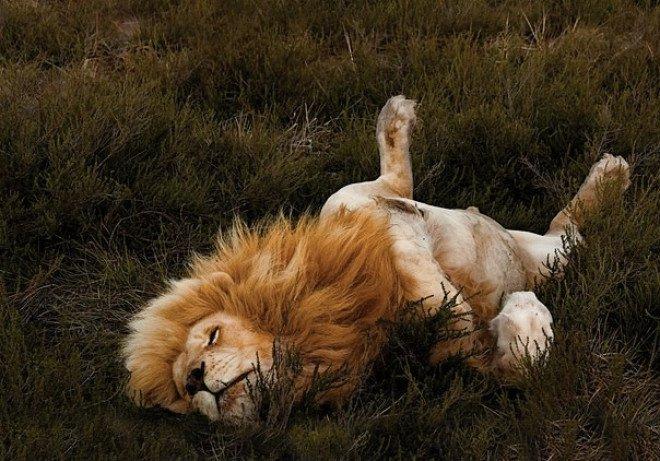 Как спит лев