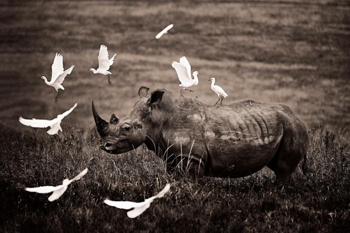 Белый носорог, окруженный вереницей белоснежных египетских цапель, ЮАР. Эти птицы — носорожьи санитары. Они выклевывают паразитов с их грубой шкуры