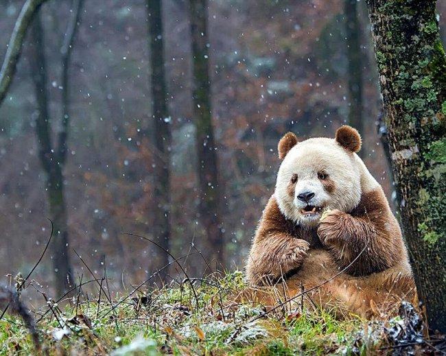 Кизай - уникальная и единственная коричневая панда в мире  в мире