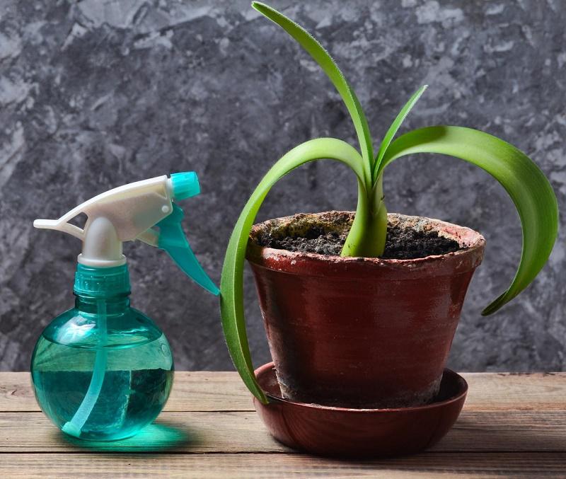 Использование чеснока в уходе за домашними растениями