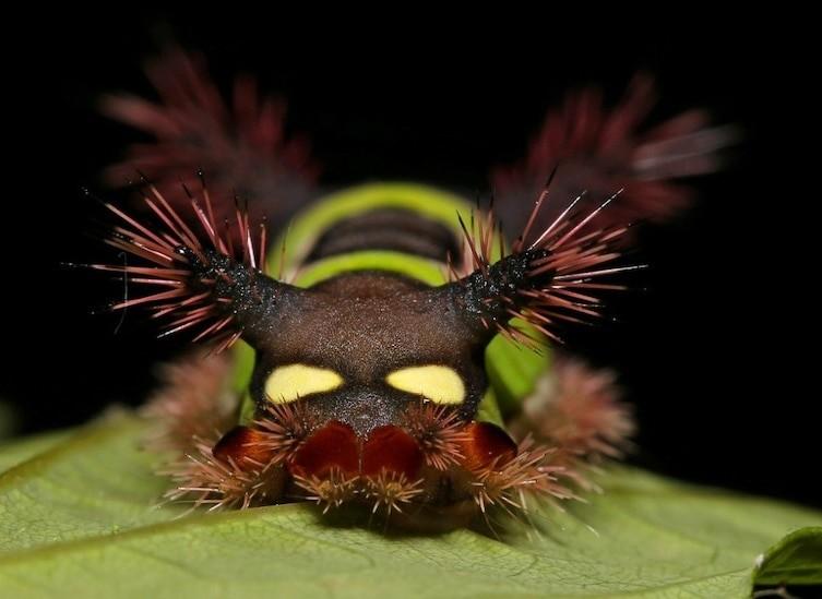 5. Седлистая гусеница с ядовитыми рожками животные, природа, ужас