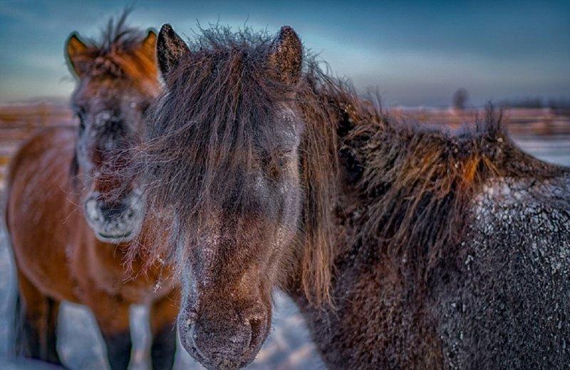 Сибирские морозы: порода лошадей, выдерживающая температуру в -60° C