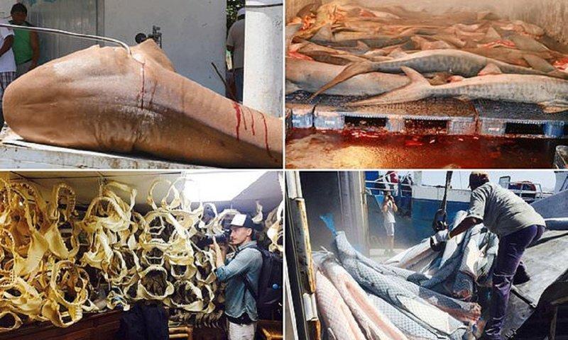Незаконно убитых акул продают под видом лосося? Роб Стюарт, акулы, браконьерство, документальное кино, морские хищники, незаконная охота, рыбы, уничтожение акул