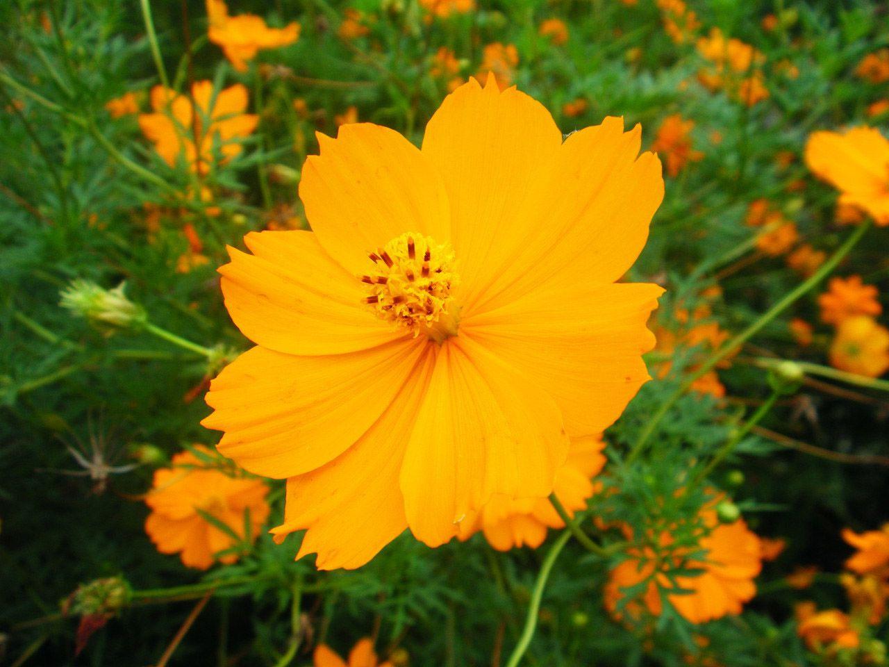 Как называется цветок с оранжевыми цветами