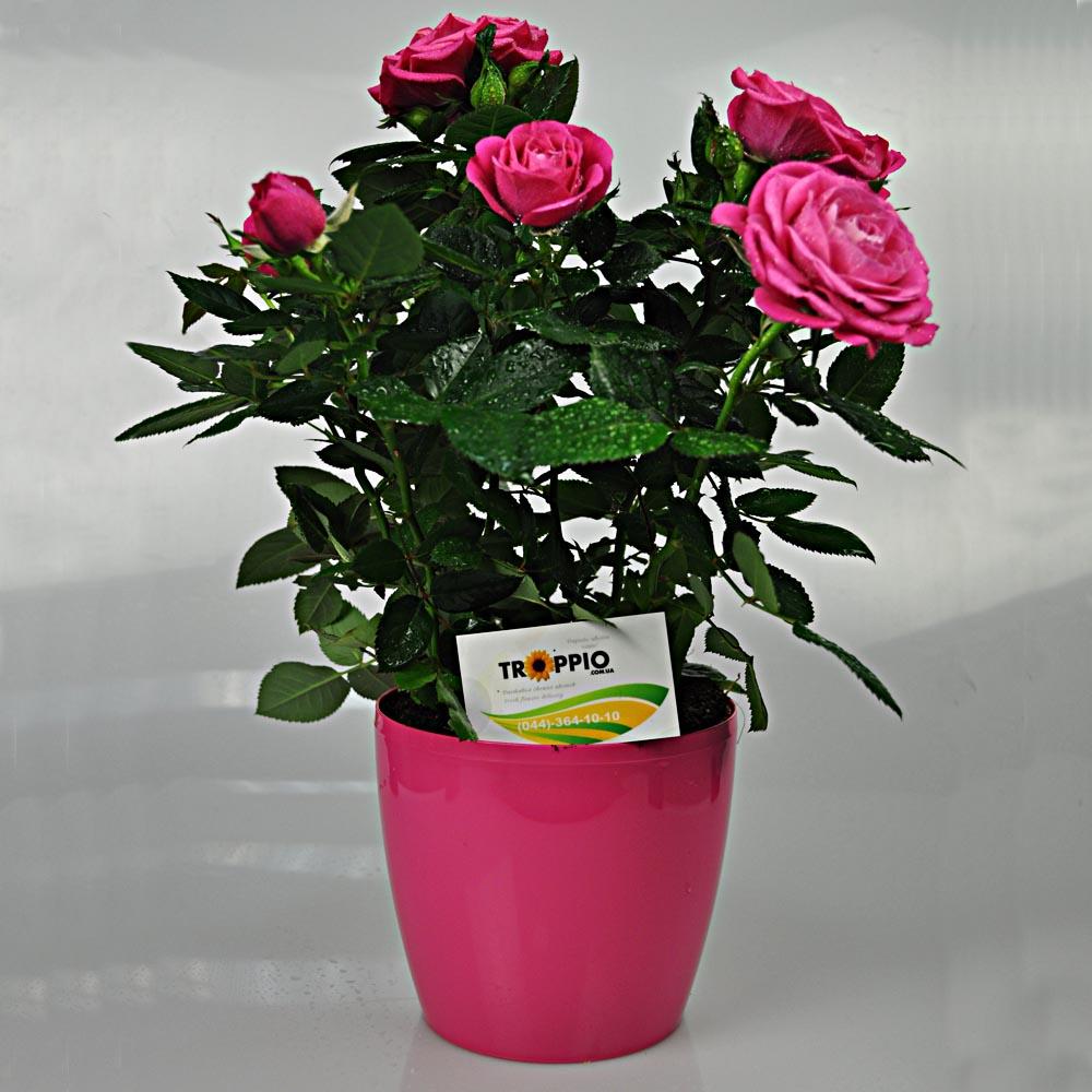 Картинки мини розы