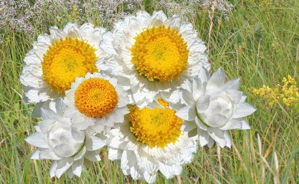 Многолетние сухоцветы  фото и названия