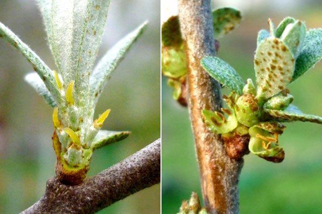 Облепиха мужская и женская. Сколько разнополых деревьев нужно иметь в саду облепиха