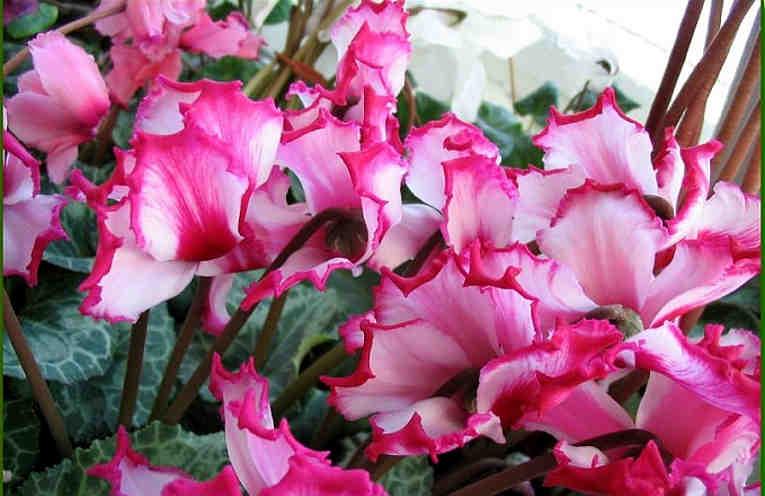 После такого опрыскивания комнатные цветы растут в 2 раза быстрее