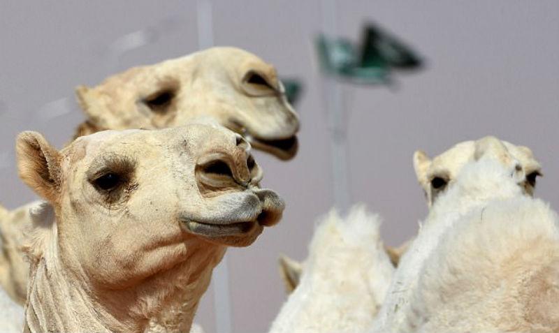 Двенадцать верблюдов дисквалифицировали с конкурса красоты из-за ботокса