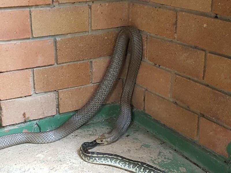 И даже сами змеи боятся своих сородичей... австралия, змея