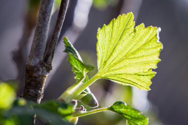 Обработка смородины от болезней и вредителей весной: пошаговая инструкция садоводство,смородина