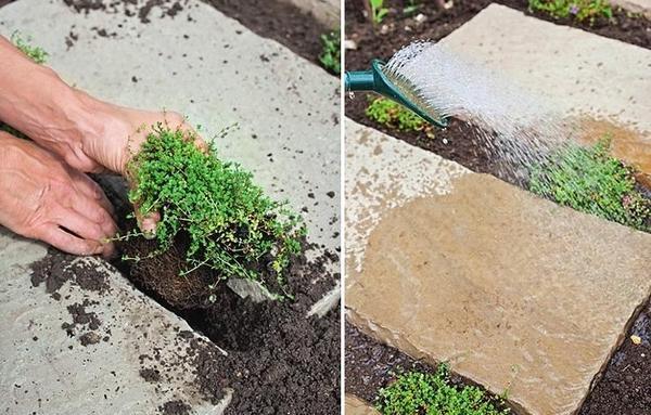 Выкопайте небольшие лунки, посадите деленки тимьяна и немного вдавите их в почву. В завершение обильно полейте.