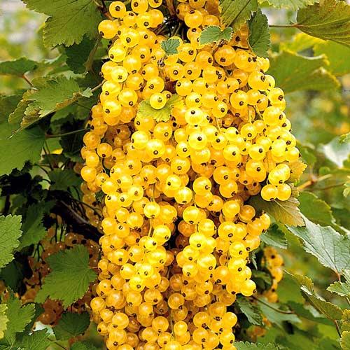 Смородина золотистая – находка для дачника
