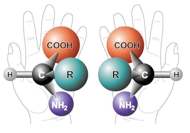 L- и D-изомеры аминокислот – зеркальные отражения друг друга / ©Wikipedia